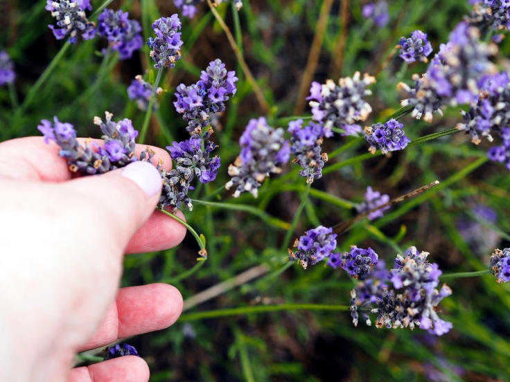 Lavender and Sunflower Farm Picture Book | Lavender and Sunflower Picking
